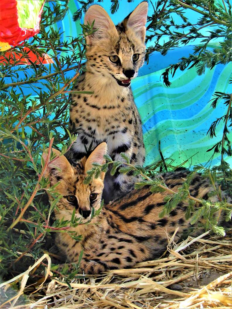 serval cats rescue