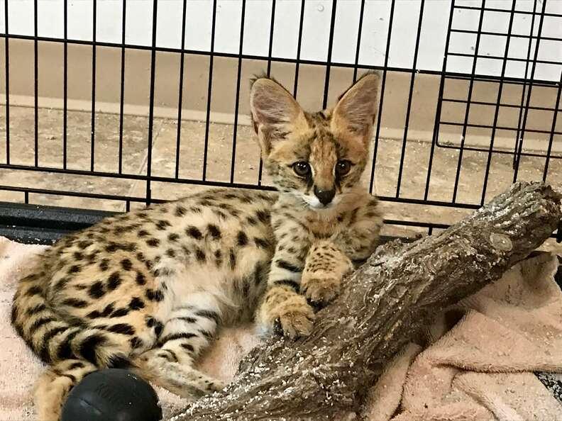 serval cat rescue