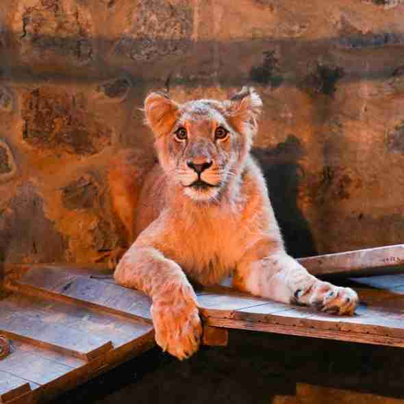 Captive lion inside enclosure