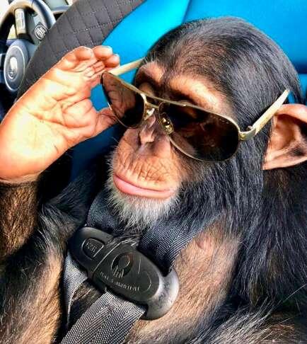 baby chimp pet florida