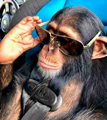 baby chimp pet florida