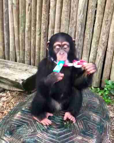 chimp baby zoo