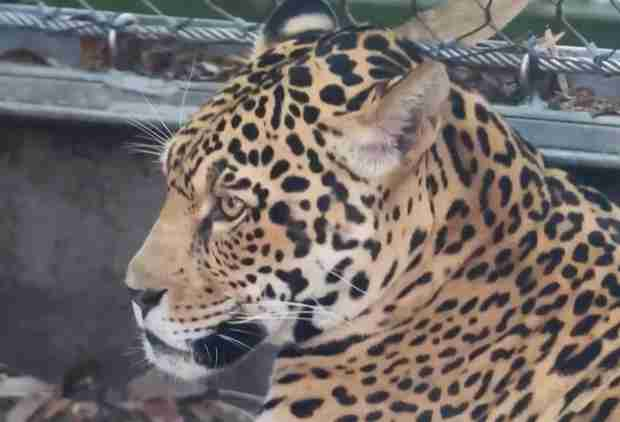This Jaguar Escaped Its Zoo Exhibit and Massacred Four Alpacas, an Emu, and a Fox