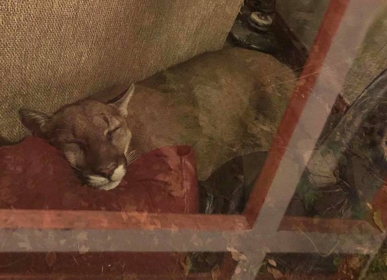 Mountain Lion Breaks Into Oregon Home Naps On Couch The Dodo