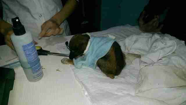 Puppy being treated at vet