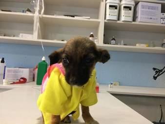Tiny puppy on vet clinic table
