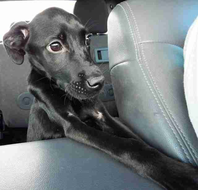 Black dog riding in backseat of car