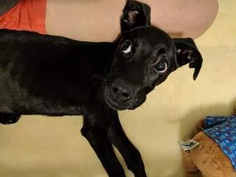 Black puppy lying on someone's leg
