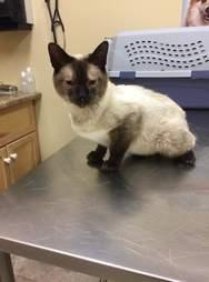 Stray Siamese with broken pelvis at vet office