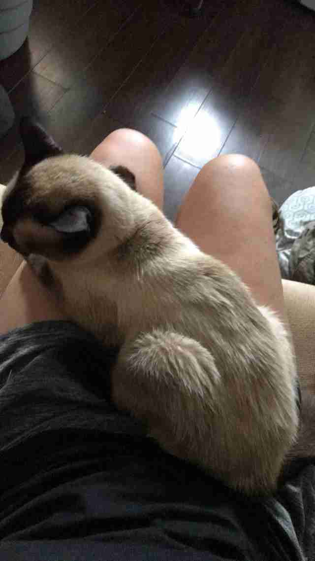 Siamese cat insists on snuggling on rescuers lap