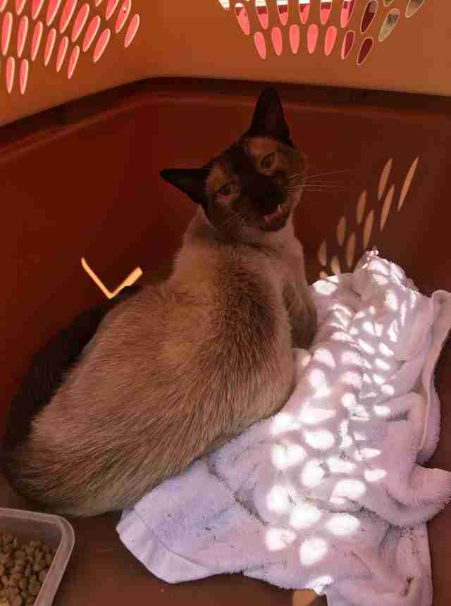 Stray Siamese cat arrives at animal sanctuary