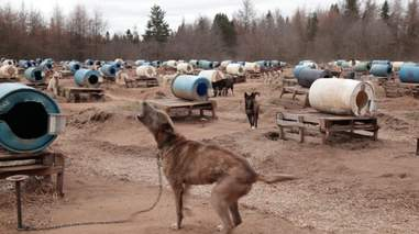 sled dog abuse canada