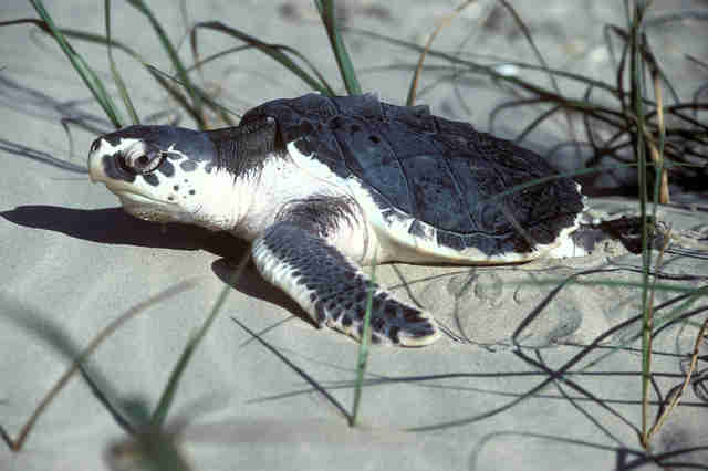 sea turtle litter death