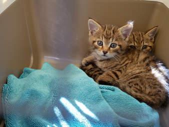 Scottish wildcat kittens