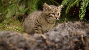 Rare Scottish wildcat