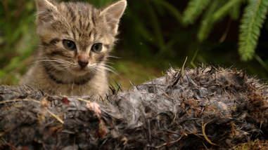 Rare Scottish wildcat kitten