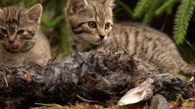 Rare Scottish wildcat kittens