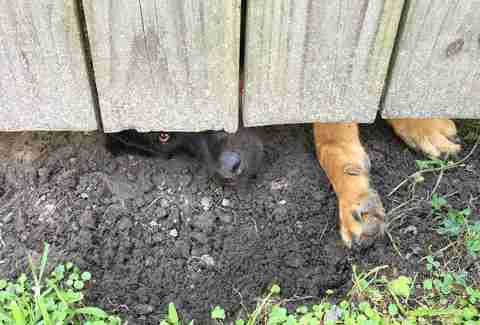 A German shepherd mix pokes his snout under a fence