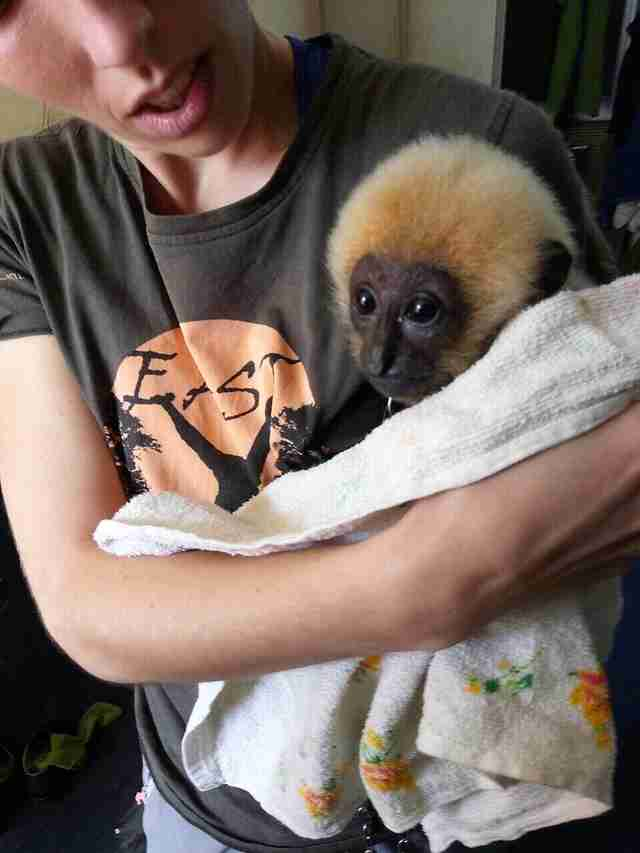 Baby gibbon rescued from being chained up in parking lot in Vietnam