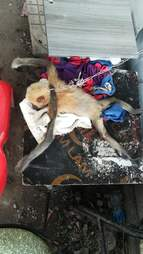 Baby gibbon chained by the neck in Vietnam parking lot