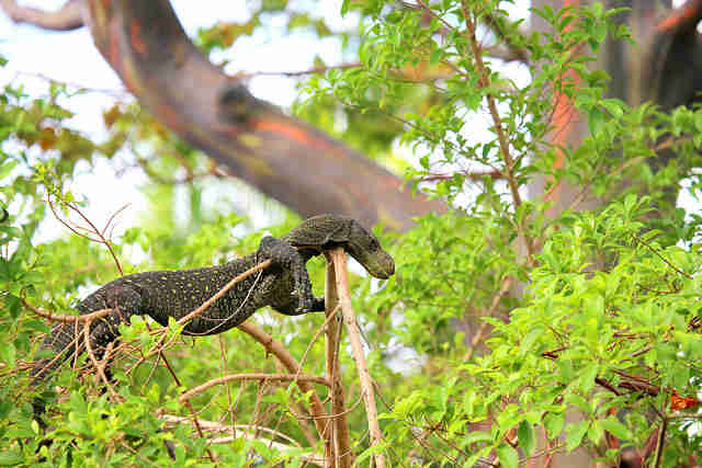 monitor lizard wild indonesia
