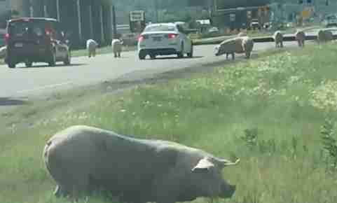 A Truck Full of Pigs Crashed & Turned This Highway Into a Petting Zoo