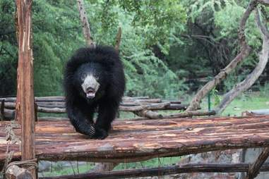 sloth bear rescue india