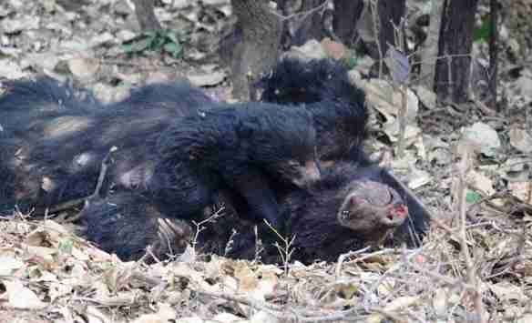 sloth bear rescue indonesia