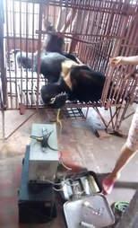 Bear bile extraction in Vietnam