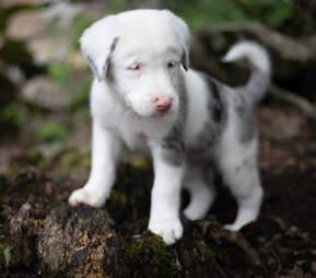 Close up Australian shepherd puppy