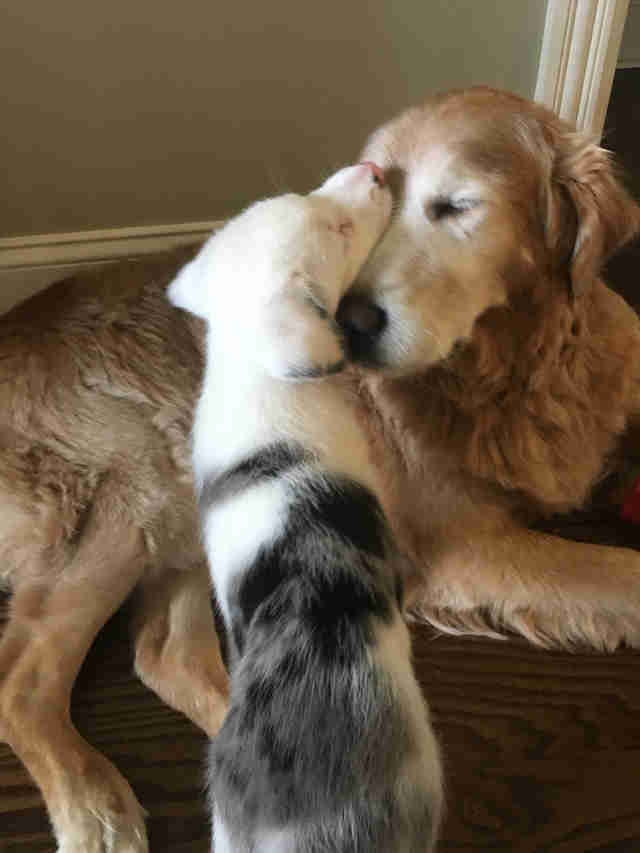 Puppy licking head of golden retriever