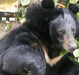 Bear saved from bile farm