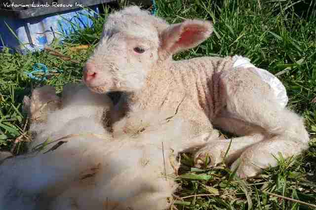 Baby lamb sitting in grass