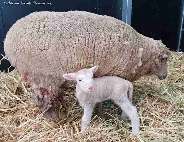 Mother and baby sheep together in barn