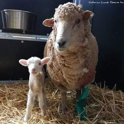 Mother and baby sheep standing barn together