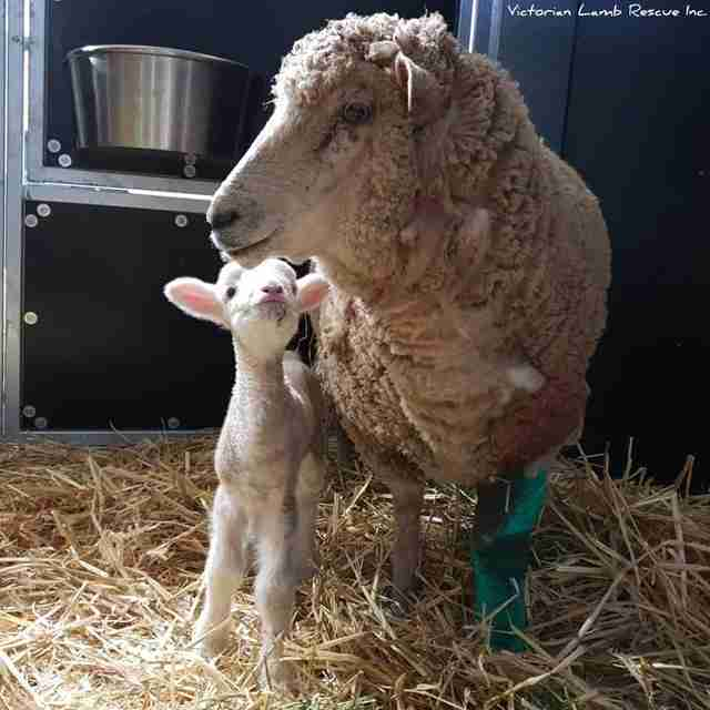 Mother and baby sheep standing in barn together
