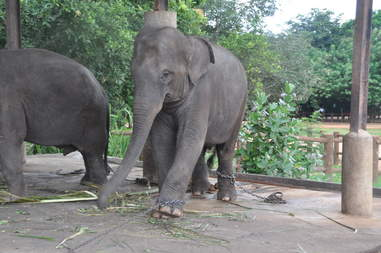 Elephant chained up