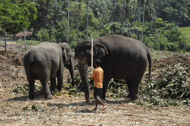Mahout controlling elephants with bullhooks