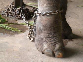 Elephant with chain around his leg