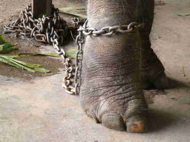 Elephant with chain around his leg
