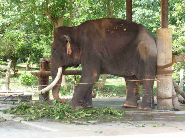 Elephant chained up at fake sanctuary