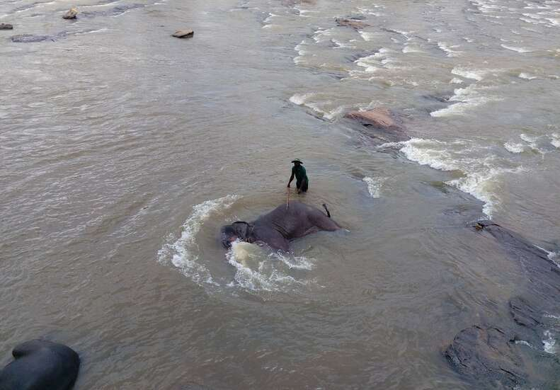 Elephant being forced to lie down in the water