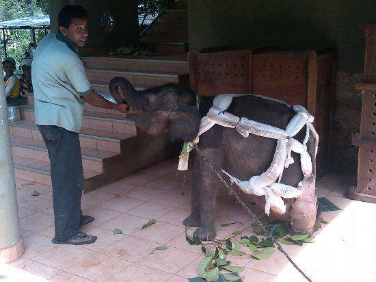 Baby elephant on chain