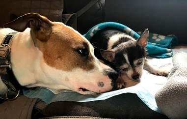 chihuahua rescue dog