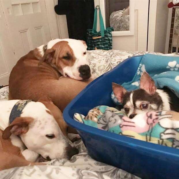 dog rescue chihuahua pit bulls