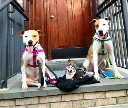 dog rescue chihuahua