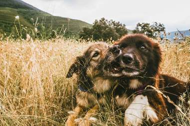 Dog cuddling together in the grass