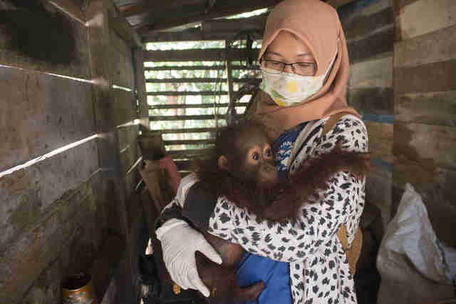 Baby orangutan clinging to woman