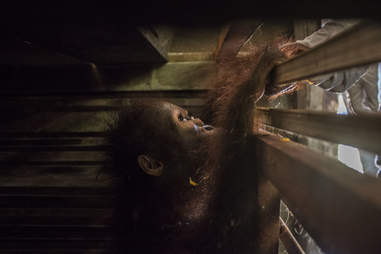 Baby orangutan trying to get out of wooden box