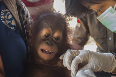 Baby orangutan being cared for by vets